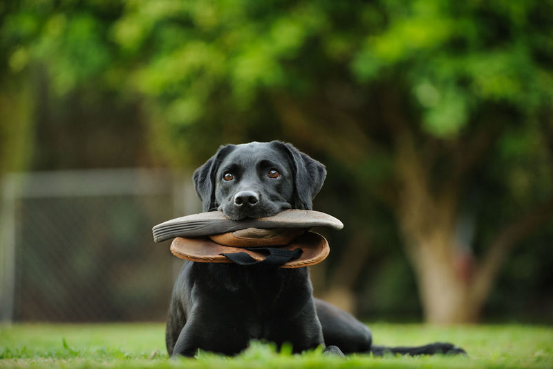 Dog carrying flip-flop in mouth while sitting on field