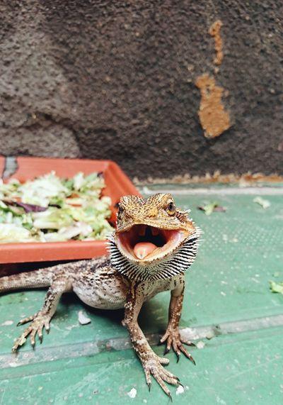 Pet Portraits Reptile Animal Themes No People Pogona Outdoors Portrait Barcelona, Spain Love Capture The Moment