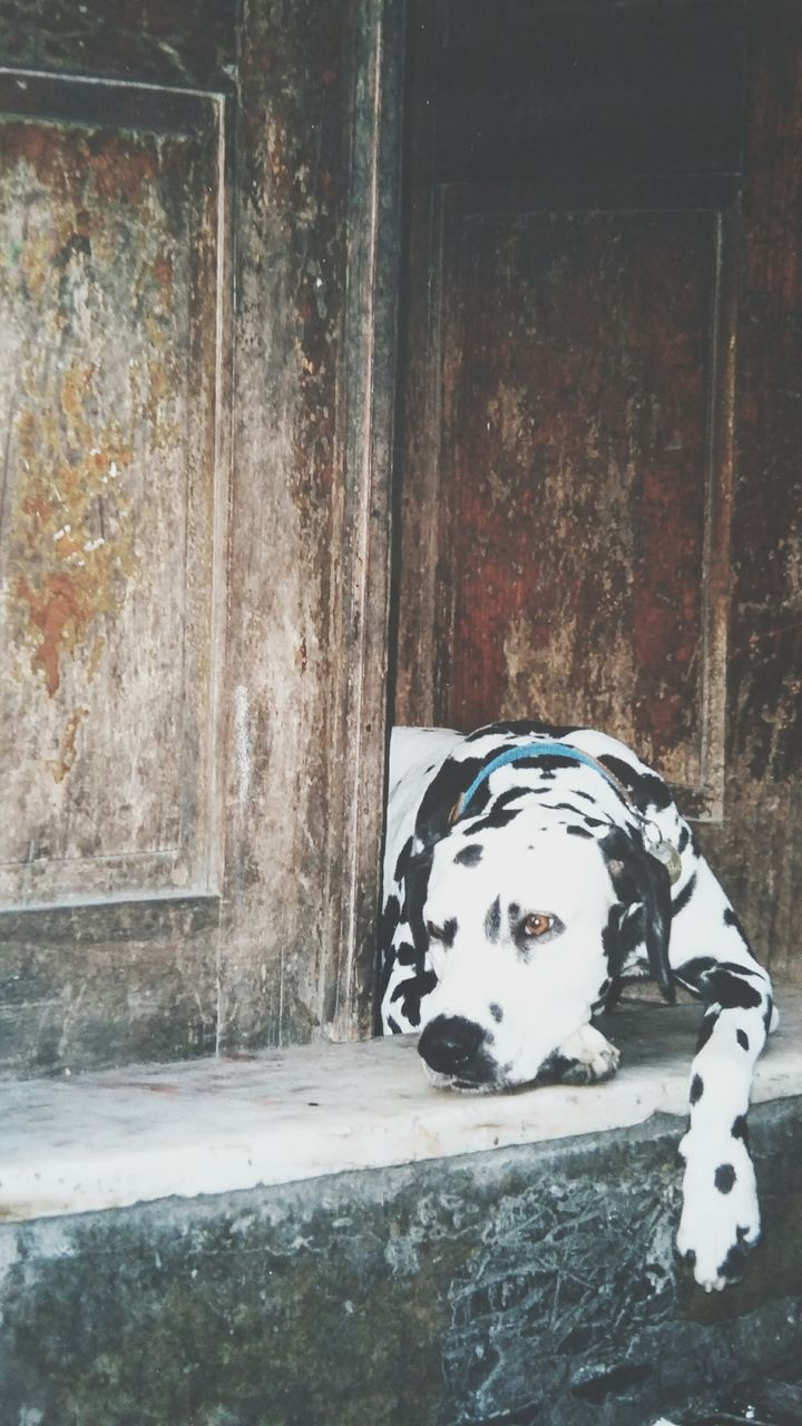 dalmatian dog, no people, dog, day, one animal, animal themes, close-up, indoors, mammal