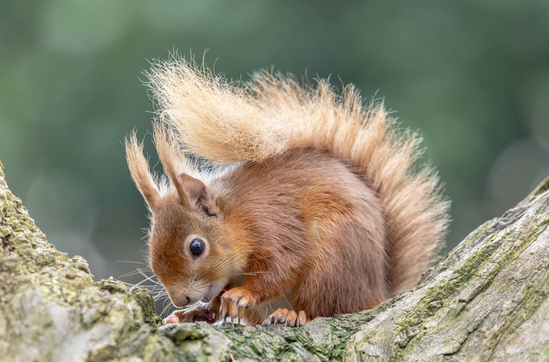 Red Squirrel in wild. Dorset Red Squirrel Squirrel Tree Whiskers WoodLand Wooded Area Background Blurred Brownsea Island Close Up Focus On Subject Fur In Wild Long Ears Mammal Protected Red Fur Wildlife