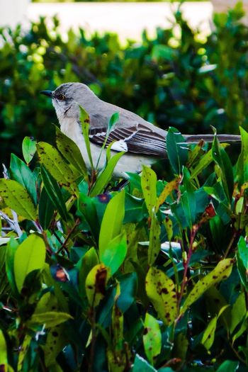 Bird Bird Photography Bird In A Bush Bird On A Bush Green Bush Bush Canon Canon Powershot G9 Powershot Powershot G9 Photoshopexpress