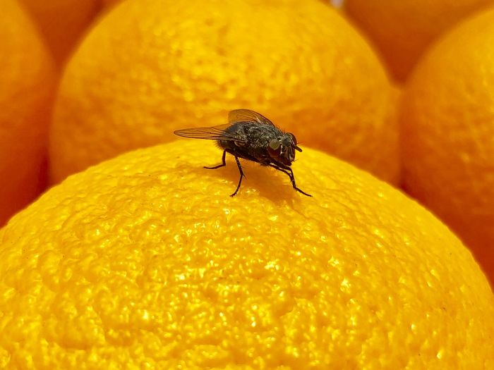 𓆦🍊 Insect Animal Themes Invertebrate Animals In The Wild Animal Wildlife Animal One Animal Close-up Yellow No People Focus On Foreground Fly Day Nature Animal Wing Orange Color Freshness Outdoors Housefly