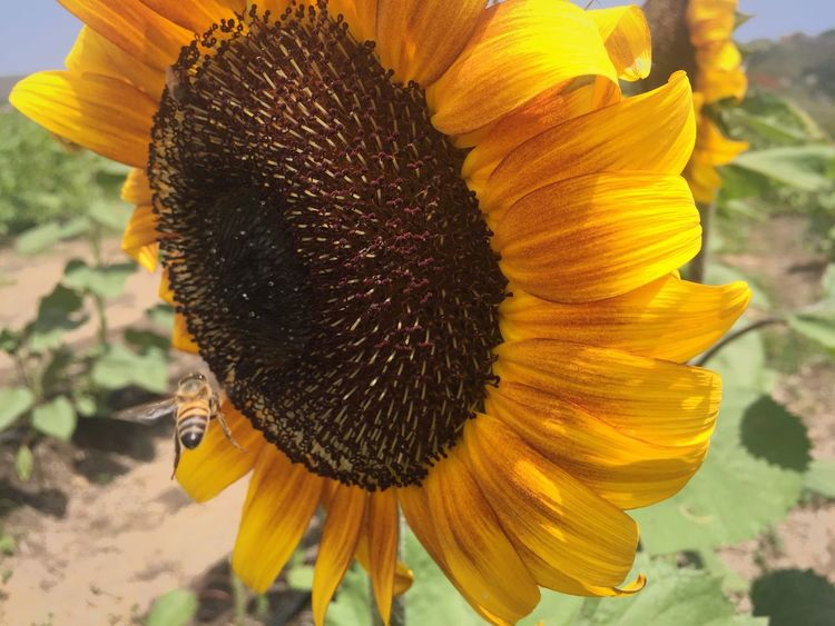 """Everything takes time. Bees have to move very fast to stay still."" -David Foster Wallace Flower Beauty In Nature Yellow Fragility Outdoors Sunflower Day Blooming Petal Close-up Freshness Pollen Bee"