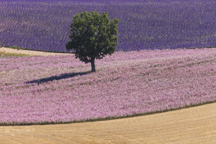 High Angle View Of Lavender Field