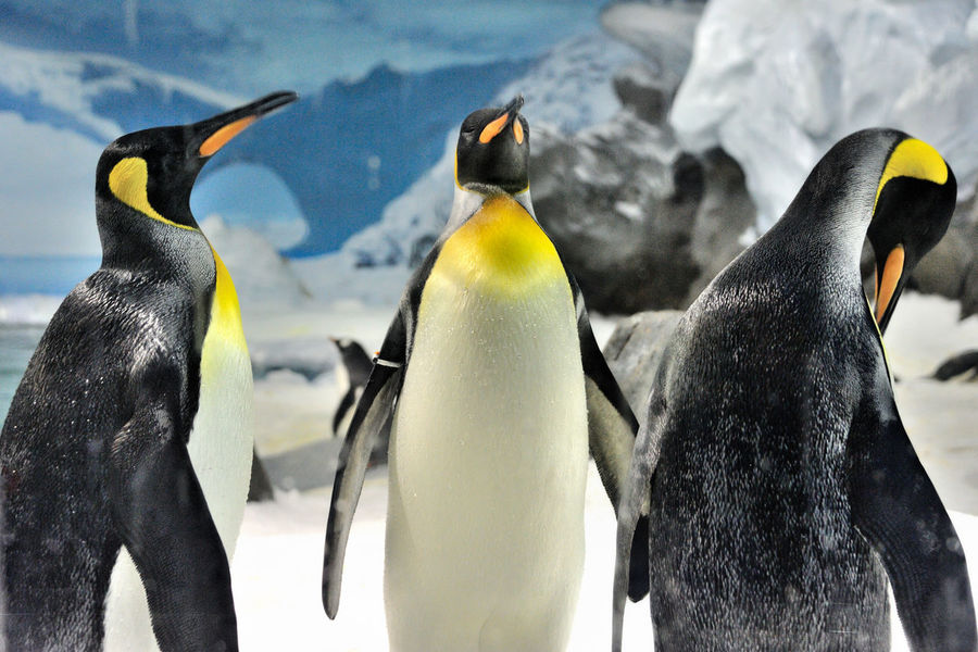 Animal Themes Animal Wildlife Beak Beauty In Nature Bird Cold Colony Day Focus On Foreground Nature No People Outdoors Penguin Penguins Snow Togetherness