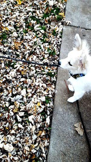 One Animal Outdoors Dog No People American Eskimo Papillion Autumn