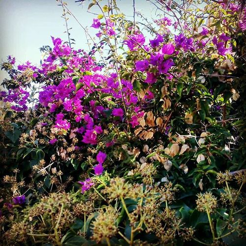 Bougainvillea Plant Flower Beauty In Nature Nature Botany Purple No People Branch