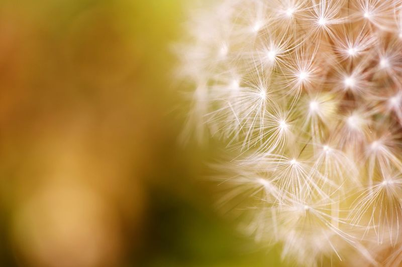 Beauty In Nature Close-up Plant No People Nature Backgrounds Fragility Dandelion Softness Growth Yellow Full Frame Flower Freshness Selective Focus Flowering Plant Pattern Outdoors