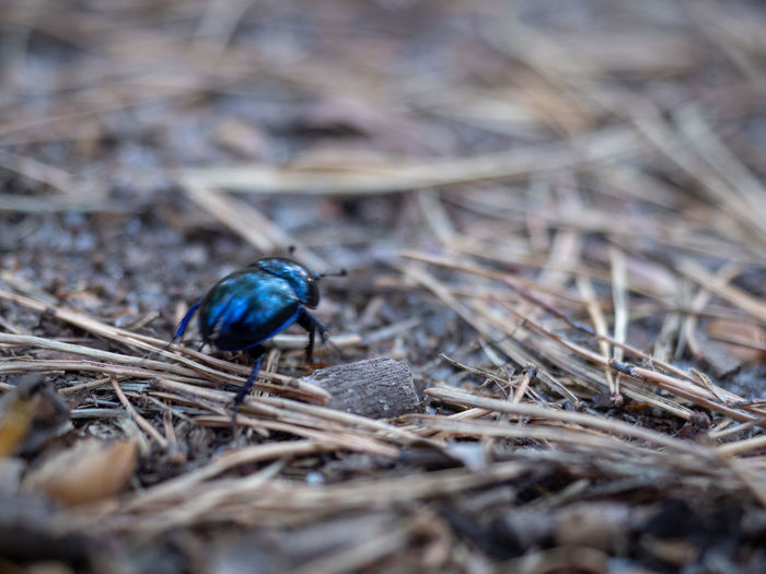 Dung beetle on the ground Animal Themes Animal Animals In The Wild Animal Wildlife Selective Focus One Animal Day No People Close-up Nature Plant Dry Invertebrate Land Outdoors Bird Insect High Angle View Twig Blue Stick - Plant Part Dung Beetle