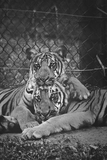 cub tigers cuddling, a'famosa, malacca, malaysia