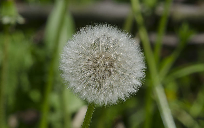 Beauty In Nature Botany Close-up Dandelion Day Flower Flower Head Focus On Foreground Fragility Freshness Growth Nature No People Outdoors Plant Softness White Color