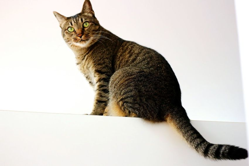 Pets Sitting Portrait Feline Domestic Cat