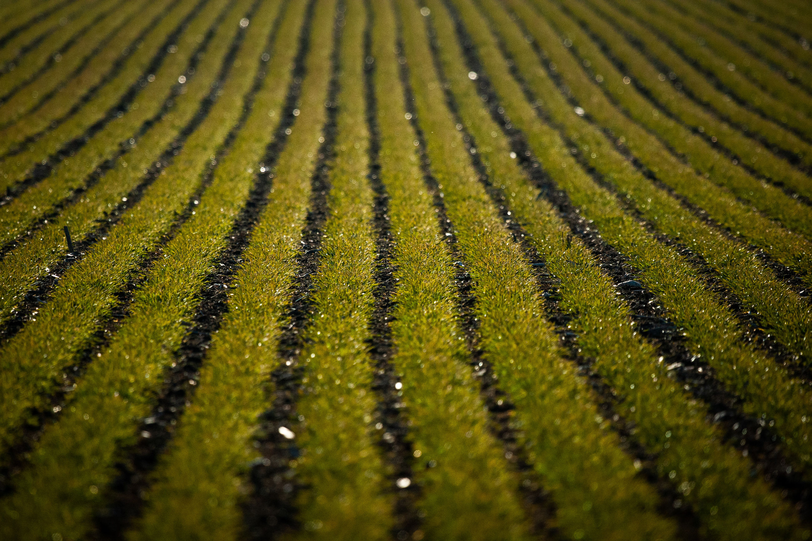 growth, pattern, green color, plant, no people, full frame, agriculture, beauty in nature, backgrounds, selective focus, day, nature, landscape, close-up, tranquility, field, land, crop, outdoors, plant part