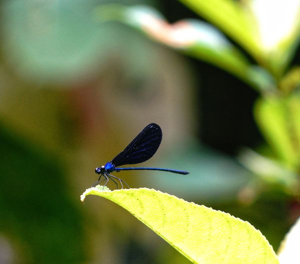 Blue damselfly Capung Jarum Fly Insect Animals In The Wild One Animal Animal Themes Focus On Foreground Animal Wildlife Damselfly Nature Beauty In Nature