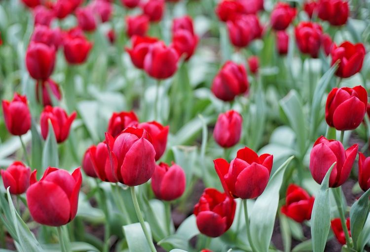 Tulips Red Rulip Tulip Background Red Growth Plant Blooming Close-up Fragility Flower Autumn Beautiful Bloom Blossom Botanical Bouquet Bright Garden Nature Freshness Plant Growth Tulip Festival Tulip Fields Flower Background