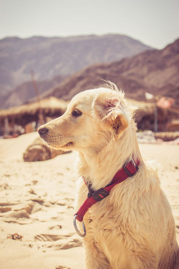 Good vibes at Ras Shetan, Nuwaybi' - Egypt راس شيطان, نويبع - مصر Dog Dogs Animal Animals Golden Retriever 50mm F1.8 Beach Beauty In Nature Beauty In Nature Canon Canon50mm Canon50mm18 Canon700D Canonphotography Dog Dogs EyeEmNewHere Golden Retriever Goldenretriever Good Times Life Moon Nature Pets Relaxation Relaxing Sky Sun Sunlight Place Of Heart