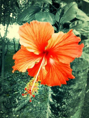 Flowers Nature Hibiscus Malaysia Bunga Bunga Raya