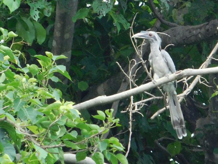 Animal Wildlife Animals In The Wild One Animal Animal Themes Bird Tree Branch Leaf Outdoors No People Grey Hornbill No Edit/no Filter