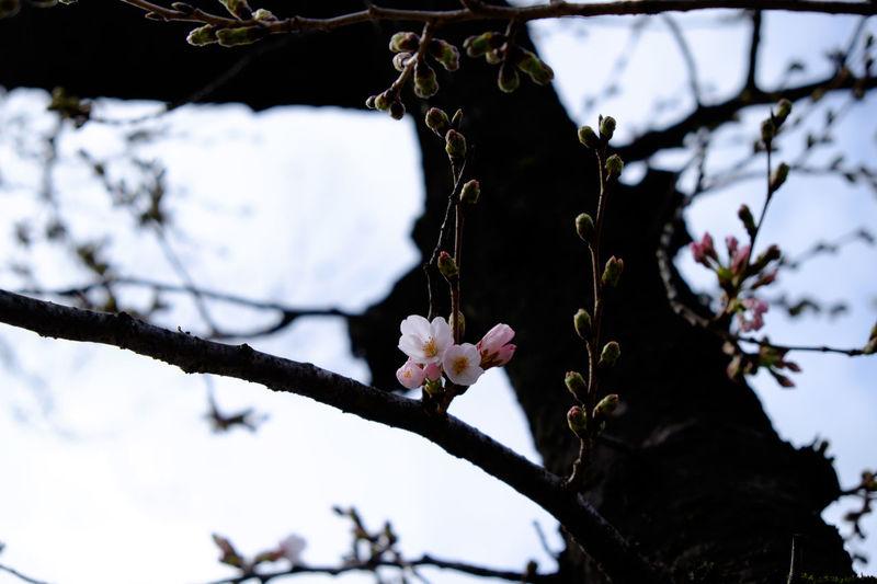 ソメイヨシノ、開花 Branch Cherry Cherry Blossoms Flower Flower Collection Fujifilm Fujifilm X-E2 Fujifilm_xseries Fujinon Growth Japan Japan Photography Japanese Culture Sakura Tree 日本 桜 櫻花 開花 開花宣言