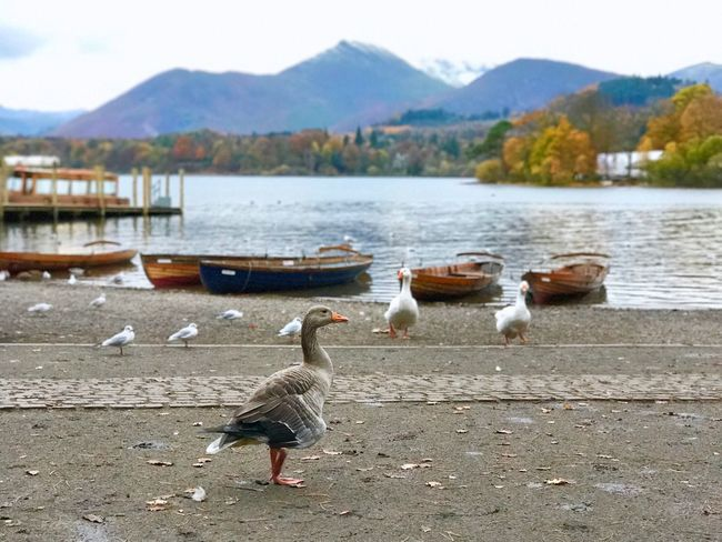 F A L L 1/2 EyeEmNewHere Leaves Ice Mountain Boat Autumn🍁🍁🍁 Autumn Fall Bird Animal Themes Animals In The Wild Mountain Nature Water Lake Day Animal Wildlife Goose Outdoors No People Large Group Of Animals Geese Spread Wings Beauty In Nature Sky