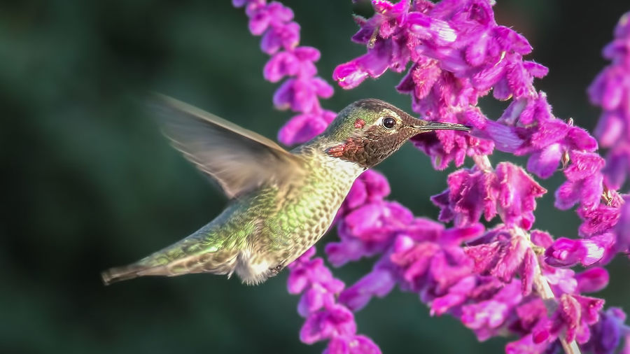 Close-up of hummingbird flying by purple flowers