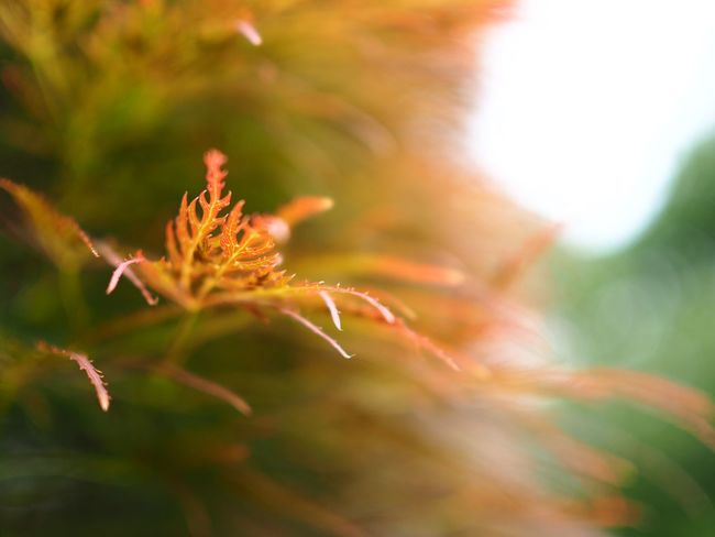 焔🔥 Olympus OM-D E-M5 Mk.II Bokeh Maple Leaf Maple Plant Close-up Growth Nature Selective Focus Focus On Foreground Fragility Leaf Freshness Orange Color