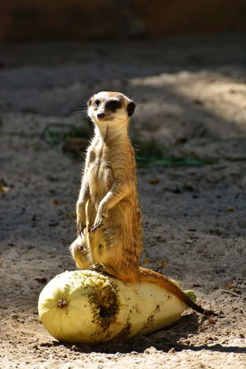 Animal Themes One Animal Animals In The Wild Banana No People Sitting Fruit Day Outdoors Mammal Meerkat Full Length Banana Peel Nature Food Close-up