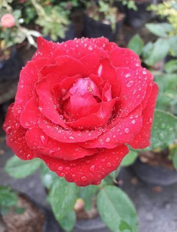 Sparkling rose Flower Nature Red Rose - Flower Petal Beauty In Nature Flower Head Freshness Close-up Plant Nature Blossom