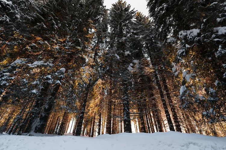 Snow covered pine trees in forest illuminated by sunset light