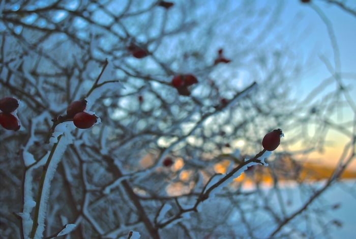 Delicious rose hip December EyeEmNewHere Frozen Hungary Nature Visegrád-Hungary Winter Wintertime Bare Tree Beauty In Nature Branch Close-up Cold Temperature Colorful Day First Day Of December Focus On Foreground Freshness Frozen Nature Fruit Growth Lovewinter Low Angle View Nature No People Outdoors Sky Snow The First Snow Tree Twig Valentinamilkovics Winter