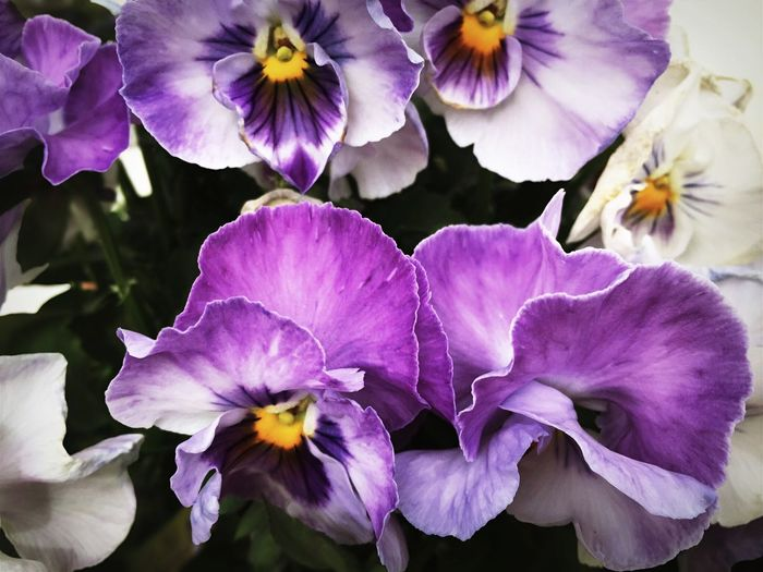 Occasional Photography Flower Purple Beauty In Nature Nature Fragility Freshness Petal Flower Head Close-up Plant No People Growth Outdoors Day Plant Blooming Freshness Growth Beauty In Nature Nature Eye For Photography Violet Flowers Violet
