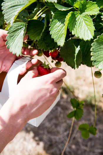 Midsection of person holding strawberry plant
