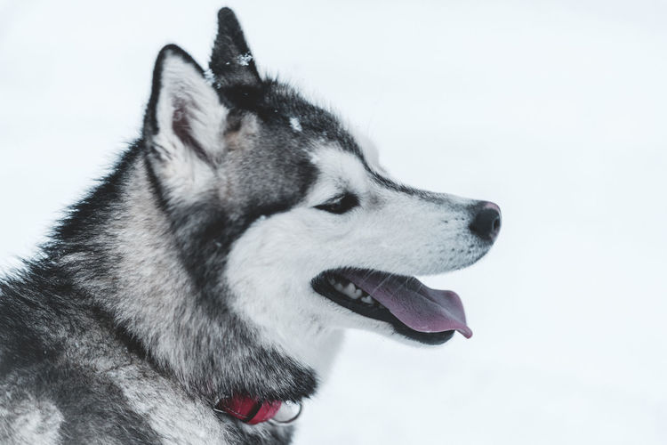Husky One Animal Animal Animal Themes Domestic Mammal Domestic Animals Dog Pets Canine Sled Dog Siberian Husky Vertebrate Looking Looking Away No People Close-up Snow Side View Winter Panting Mouth Open Animal Head  Purebred Dog Profile View