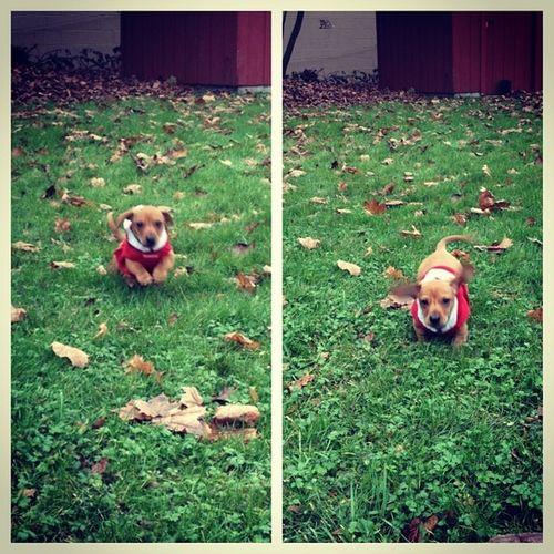 Run Obi Run! Puppy Dachshund Bookinit Thoselittlelegs