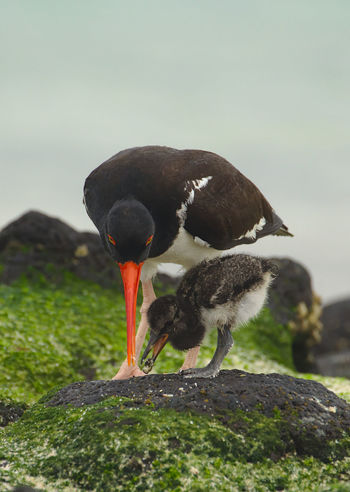 J'ai eu la chance, lors de mon séjour aux Galapagos, de voir grandir un jeune Huitrier d'Amérique, pendant les trois premières semaines de sa vie. En voici quelques photos. Age: 12 jours. While staying in Galapagos, I got to see a young American Oystercatcher grow during its first three weeks. Here are some pictures. 12 days old. Animals In The Wild Baby Family Feeding  Galapagos Growing Nature Nature Photography Wildlife & Nature Wildlife Photography Animal Themes Animal Wildlife Beauty In Nature Bird Birth Blackandwhite Cute Haematopus Palliatus Nature_collection Oystercatcher Sand Sea Seaside Series Wildlife The Traveler - 2018 EyeEm Awards
