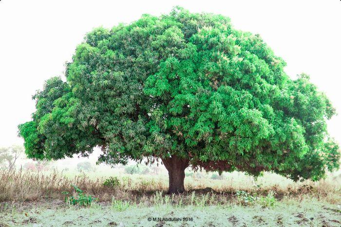 Mango Tree Mangoes♥ Trees Leaves Eem Photo First Eyeem Photo