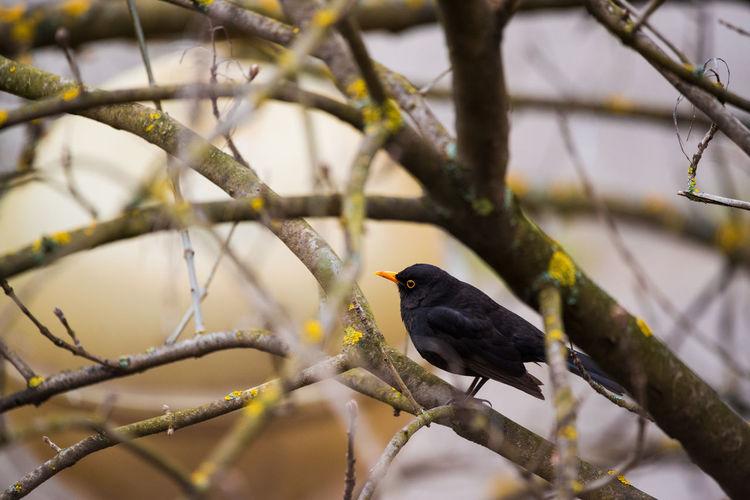 Close-up of blackbird perching on branch