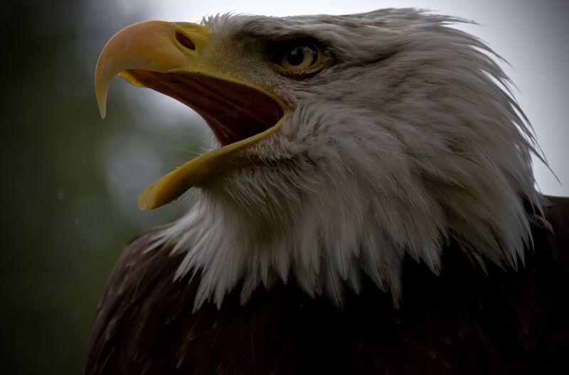 Eagle Beauty In