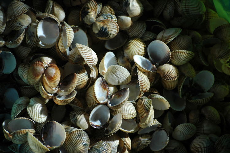 Abundance Cockles Focus On Foreground Human Hand Shell Single Object Still Life