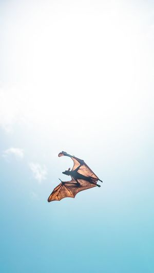 Fruit bat, found in Maldives. Maldives Fruitbat Bat
