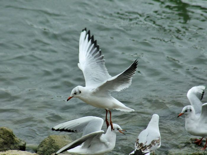 Animal Themes Animal Wildlife Animals In The Wild Beauty In Nature Bird Black-headed Gull Day Flying Lake Motion Nature No People Outdoors Seagull Spread Wings Swan Water Water Bird White Color