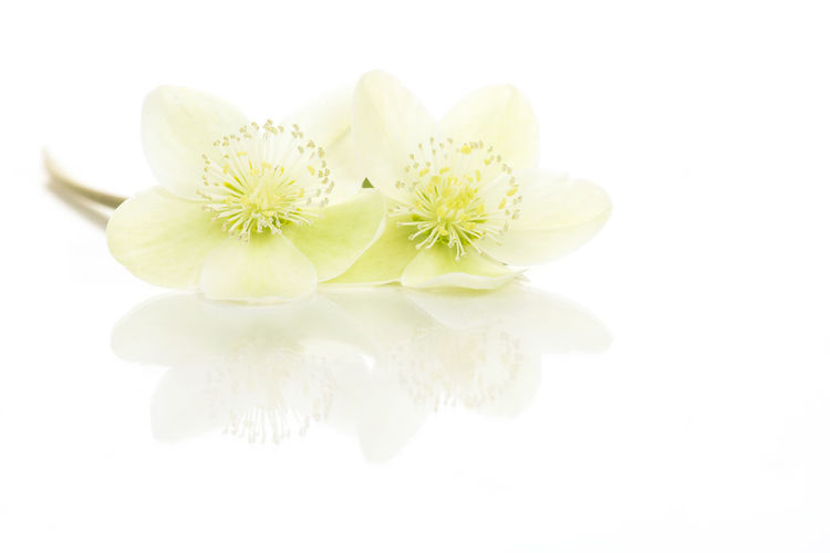 Reflection Two Flowers Blooming Christmas Rose Winter Rose Lenten Rose Hellebores Flowers Helleborus White Background White Color Cut Out Flower Flowering Plant Indoors  Studio Shot Reflections