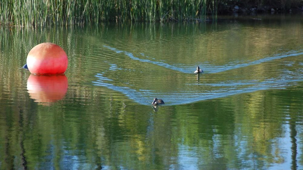 Water Ducks Nature Animals In The Wild Outdoors Reflection Lake Pound Moving Dynamics