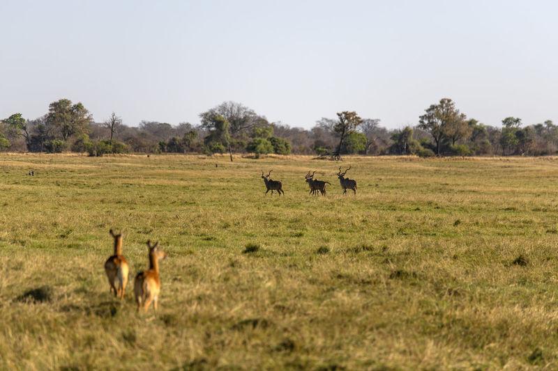 Impalas in a field