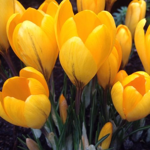 Close-up of yellow tulips blooming on field