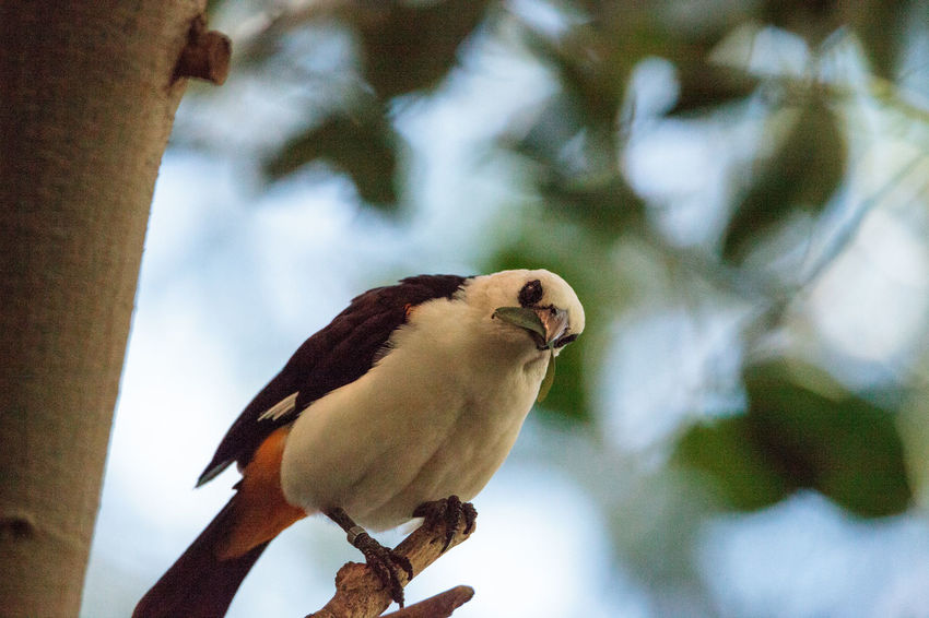 White-headed Buffalo weaver, Dinemellia dinemelli, bird is small with a white head and a bright orange belly African Birds Buffalo Weaver Dinemellia Dinemelli Tree White-headed Buffalo Weaver Bird Leaf Weaver Wild Bird Wildbird