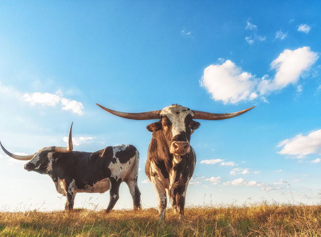 Agriculture Animal Bone Animal Skull Animal Themes Bull - Animal Cloud - Sky Day Domestic Animals Horned Livestock Low Angle View Mammal Nature No People Outdoors Sky Standing