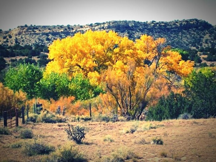 Golden tree Tree Tranquil Scene Tranquility Landscape Nature Clear Sky Beauty In Nature Travel Destinations Remote Solitude Field Outdoors Sky Countryside Texas Texas Skies Golden Goldtree Westtexas Non-urban Scene Magical Magical Places Magical Trees Middleofnowhere Lubbock