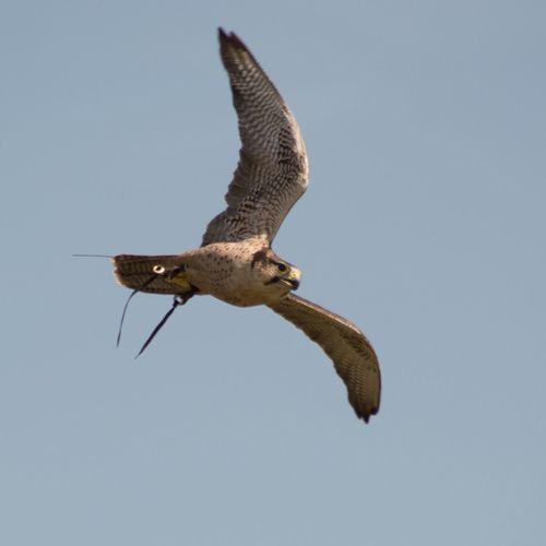 #lanner Falcon