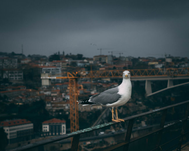 Seagull perching on railing against buildings in city